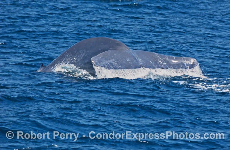 Balaenoptera musculus Blue Whale 2006 08-02 SB Channel--2020
