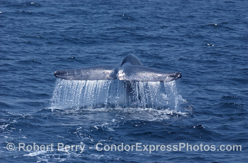 Balaenoptera musculus Blue Whale tail fluke 2006 08-02 SB Channel--002