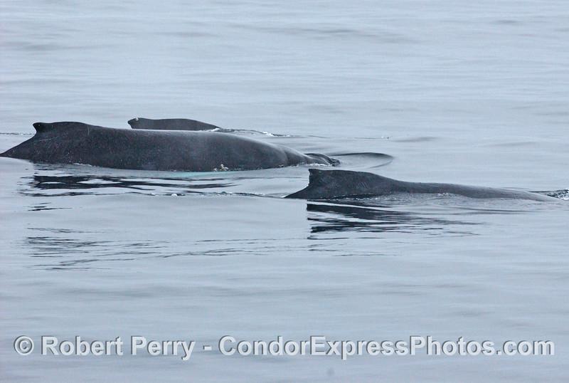 3 humpback whales