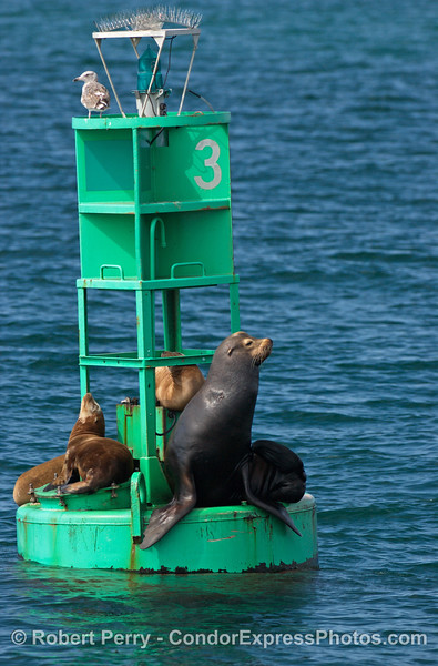 A large bull California sea lion.  Note the size differential between the bull and the smaller females on the buoy