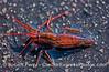 1-Red striped shrimp - Pandalus danae 2006 08-10 SB Channel--7031