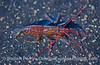 1-Red striped shrimp - Pandalus danae 2006 08-10 SB Channel--7032