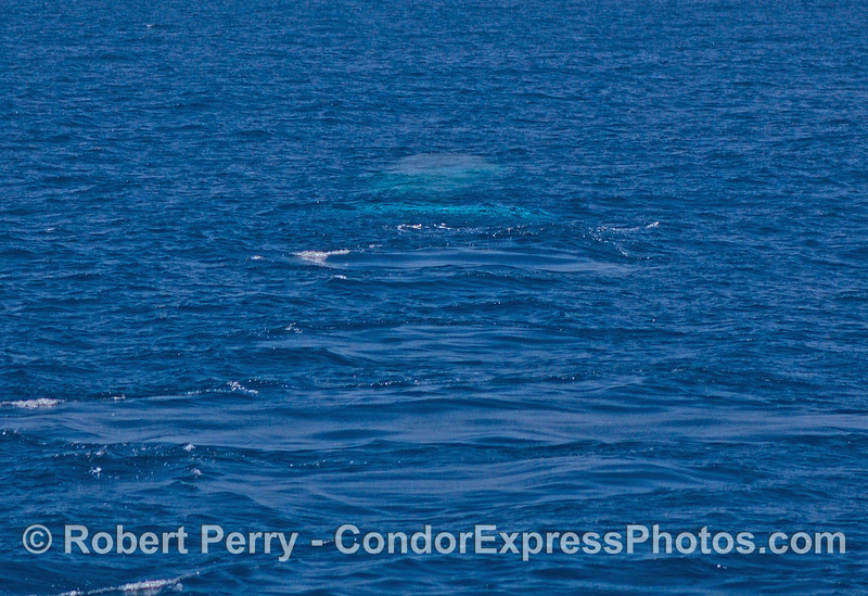 A blue whale swims away from the camera and leaves footprints.  The whale is the blue streak in the water a the top of the photograph.