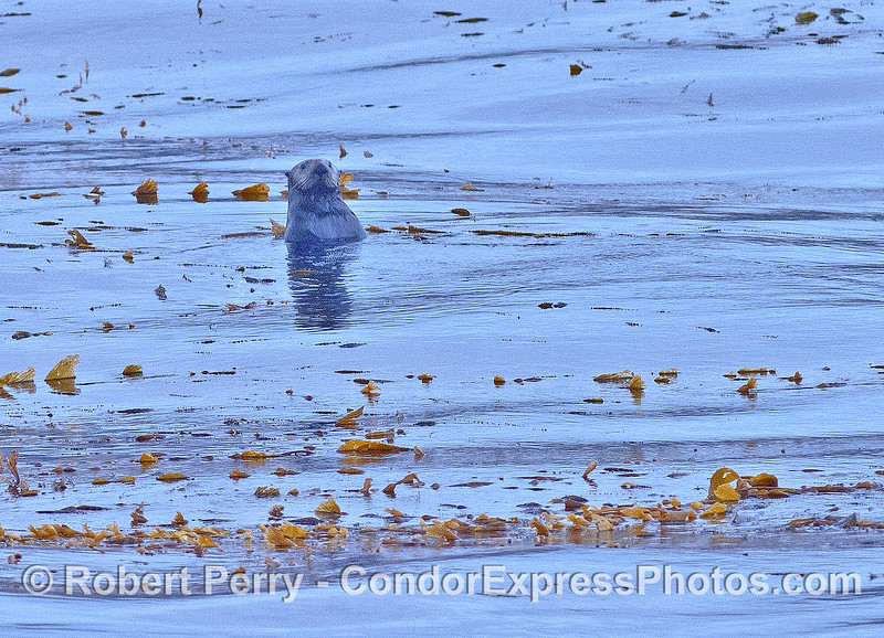 Image 3 of 3:   sea otters in the kelp bed at Cojo Anchorage