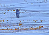 Enhydra lutris 2006 08-12 Pt Conception--1014