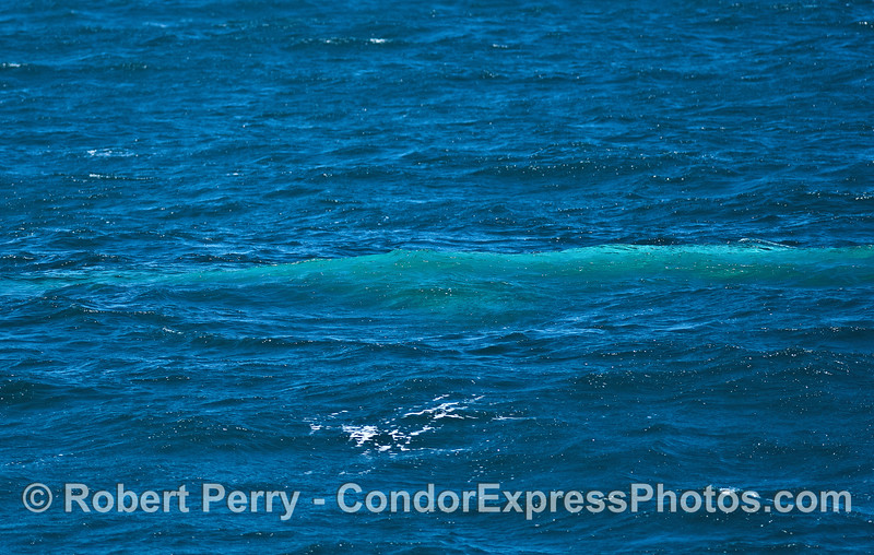 The blue streak - a blue whale travels below the surface