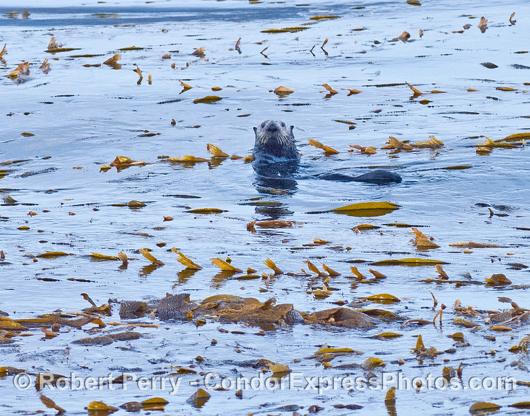 Image 1 of 3:   sea otters in the kelp bed at Cojo Anchorage