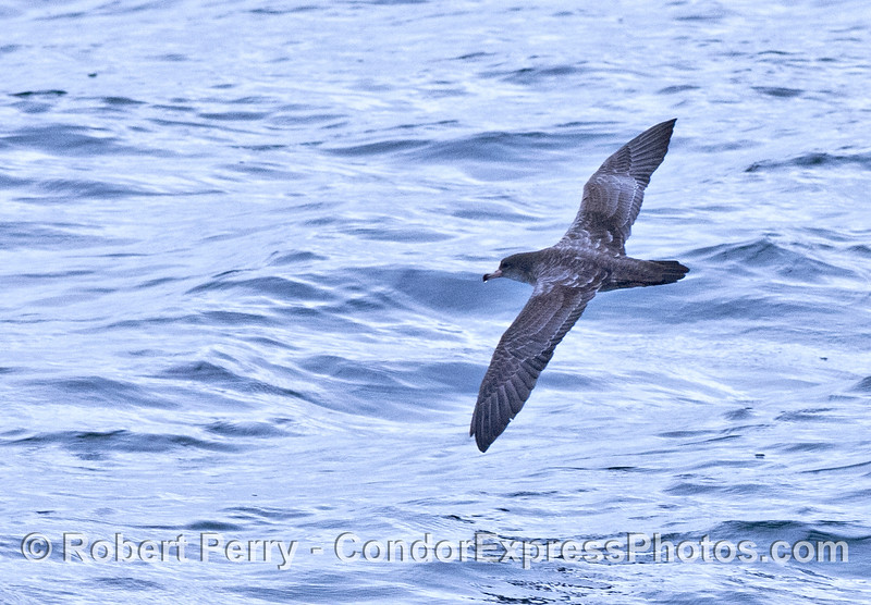 Pink footed shearwater in flight