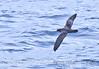 Puffinus creatopus in flight 2006 08-12 Pt Conception--0006