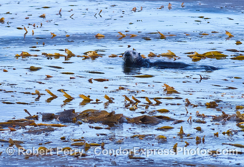 Image 2 of 3:   sea otters in the kelp bed at Cojo Anchorage