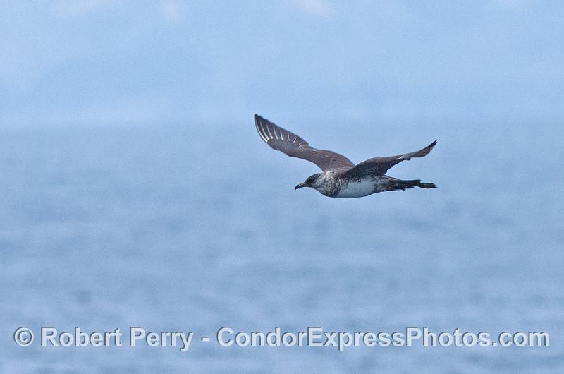 Pomarine jaeger in flight