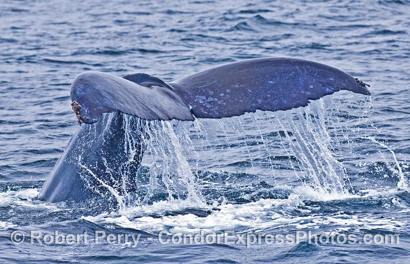 Megaptera novaeangliae FLUKES 2006 08-18 SB Channel--020