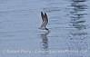 Rynchops niger black skimmer 2006 08-18 SB Hbr--006