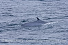 Balaenoptera physalus Fin Whale 2006 09-09 So Calif Bight--031