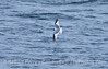 Xema sabini Sabines Gull 2006 09-09 So Calif Bight--001