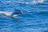 Tursiops truncatus far offshore 2006 09-09 So Calif Bight--005