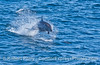 Tursiops truncatus far offshore 2006 09-09 So Calif Bight--001