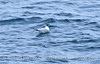 Xema sabini Sabines Gull 2006 09-09 So Calif Bight--006