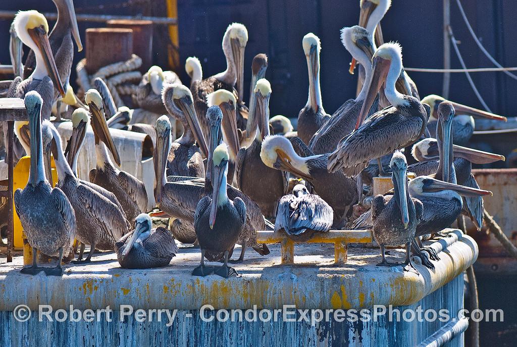 "The dredge barge ""La Encina"" makes a wonderful brown pelican habitat."