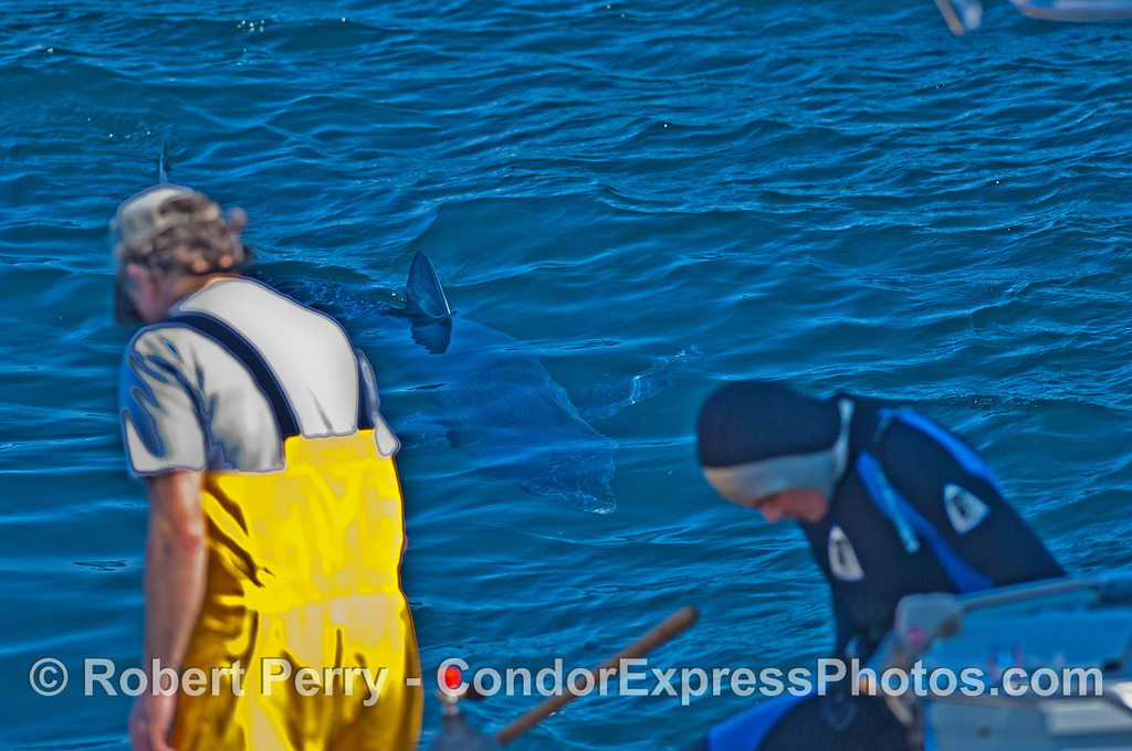 Blue shark in blue water - Rocky Strong prepares to dive in.