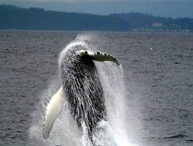 Breaching Humpback Whale, August 7 - Bryan Gates