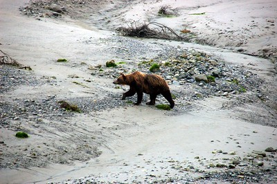 Alaskan Bear - Lindblad Expeditions