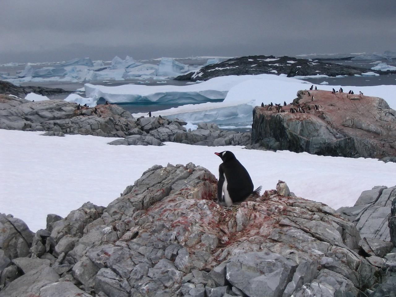 Penguin on Peterman - Andrew Gossen