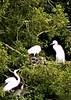 sat 04-29-06 - audubon canyon ranch - Nesting Egrets