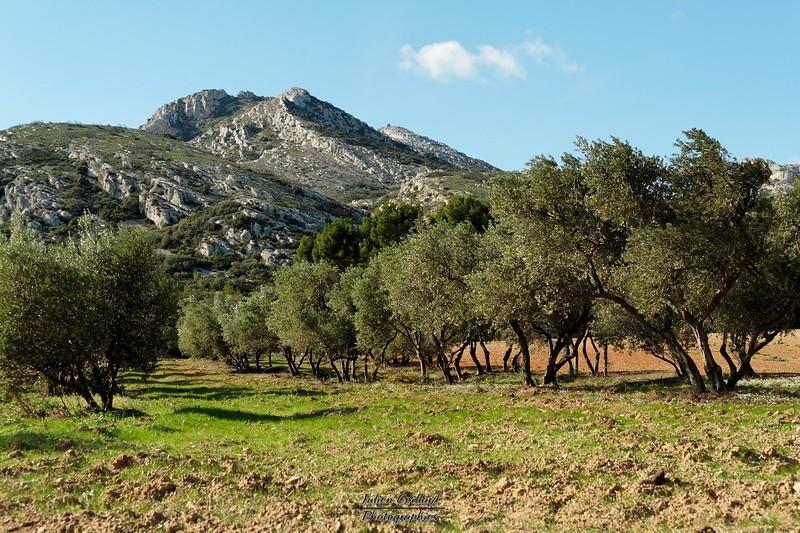 Aureille - Vallon des Glauges Champ d'oliviers