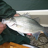 Here's a nice Striped Bass.....they were chasing shad & we tossed our bait into the churning water.....and guess what?