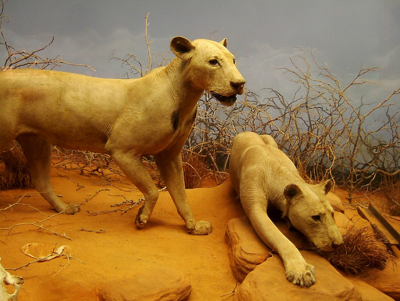 "The man-eaters of Tsavo, featured in the movie ""The Ghost and the Darkness"" are stuffed and posing in the Field Museum in Chicago."