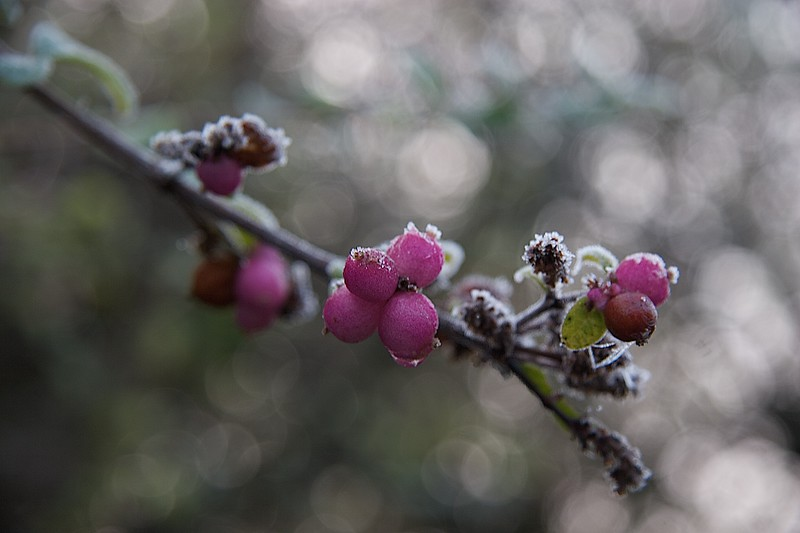 Frosty berries • Berries in our garden after a heavy frost.