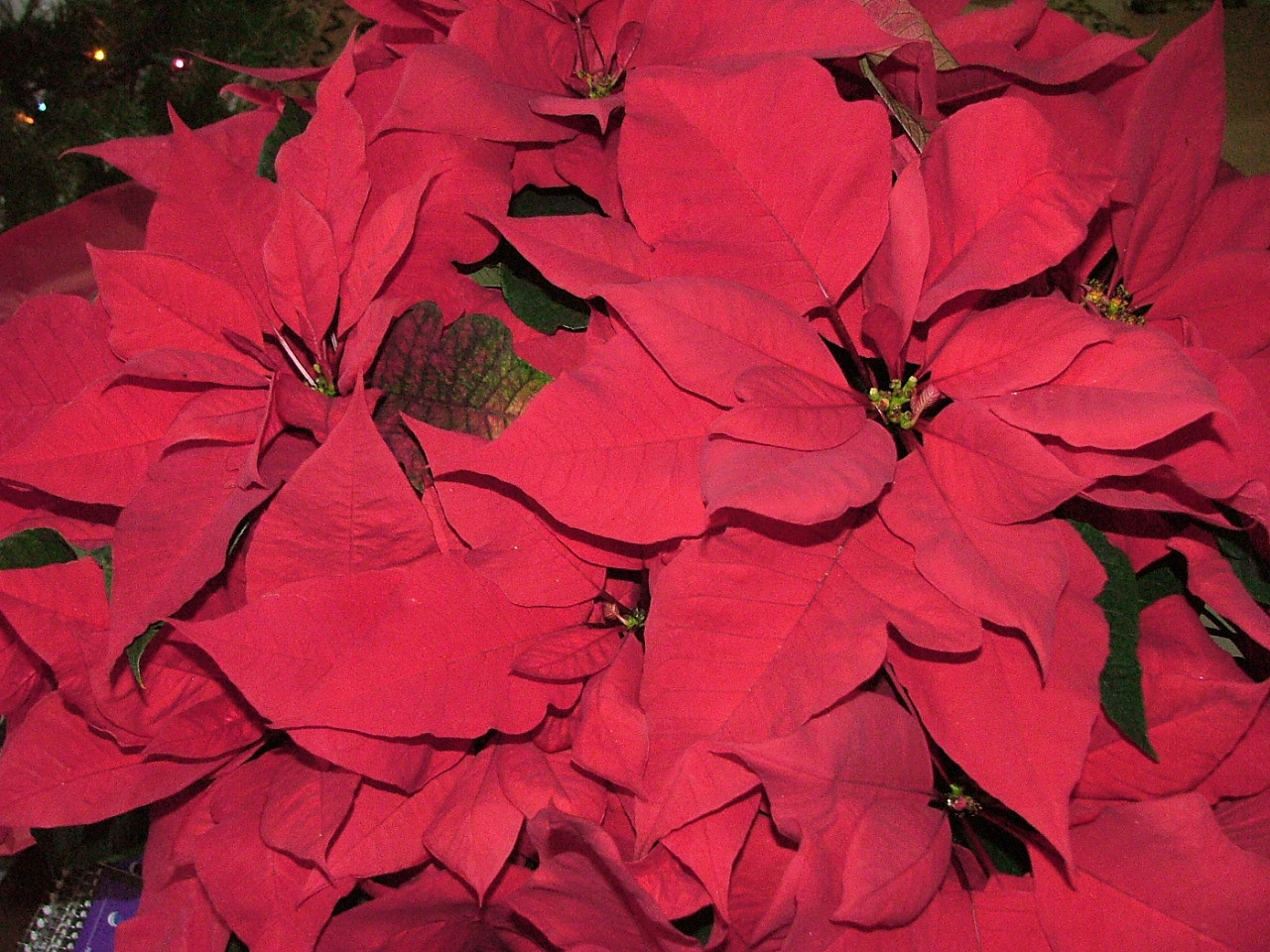 Someone from the ward dropped off this gorgeous poinsettia on Christmas.
