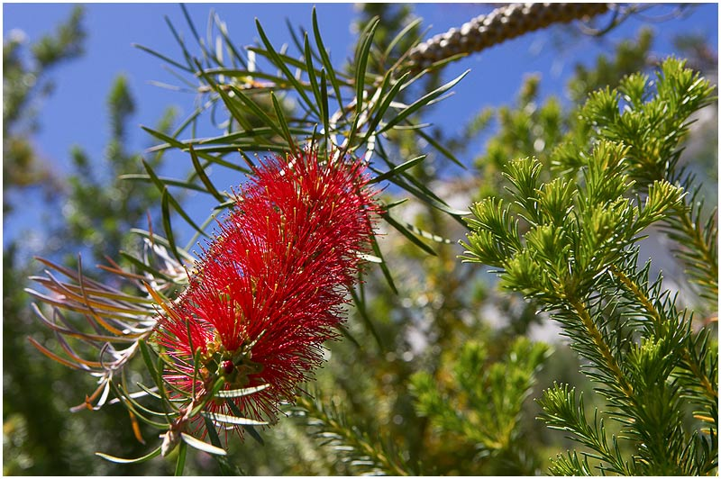 Sydney, Thursday December 7th 2006. <br /> <br /> Bottlebrushes are among the hardiest of Australian native plants. They are long lived, require minimal maintenance and are almost impossible to kill. They suit my style of gardening really well.<br />  <br /> <br /> EXIF DATA <br /> Canon 1D Mk II. EF 24-70mm f/2.8L@48mm 1/400s f/8 ISO 200.