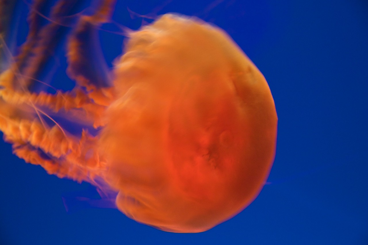 Jellyfish • At the Osaka Aquarium. The lights inside the tank changed colour to demonstrate how this particular species of jellyfish is especially translucent.