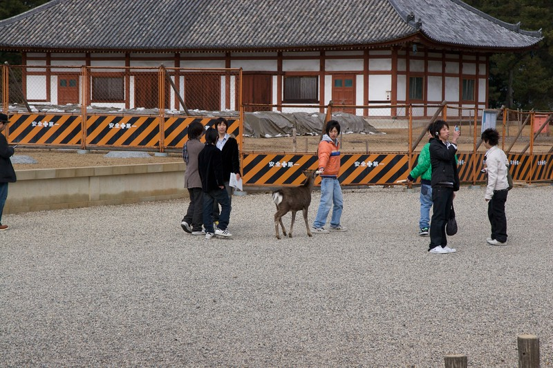 Taunting a deer • A boy taunts one of the many semi-wild deer that roam freely throughout Nara park.