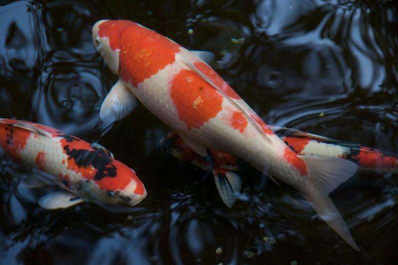 Carp • Carp in a pond at the Naiku