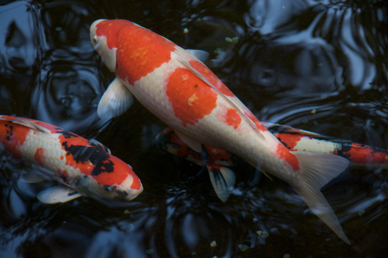 Carp • Carp in a pond at the Naiku