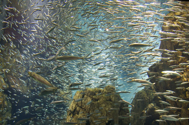 Schools of fish • At the Osaka Aquarium.   If you want more detailed marine information, I'm not the person to ask.
