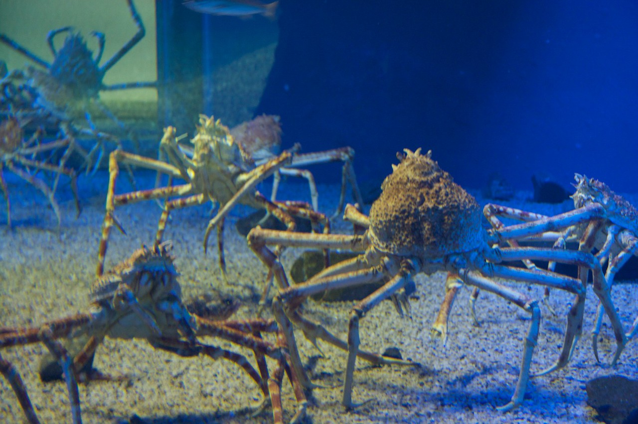 Giant crabs • At the Osaka Aquarium. I found these things quite scary, in spite of the fact that they were behind a 10-inch thick sheet of acrylic glass.