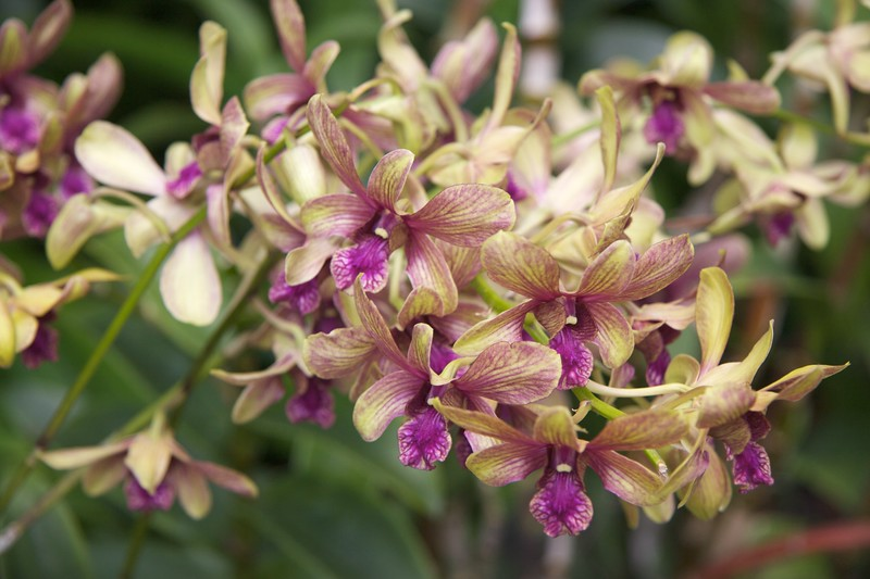Dendrobium de Klerk • An orchid named in honour of the former Prime Minister of South Africa, Frederik Willem de Klerk, who visited the National Orchid Garden in 1992.