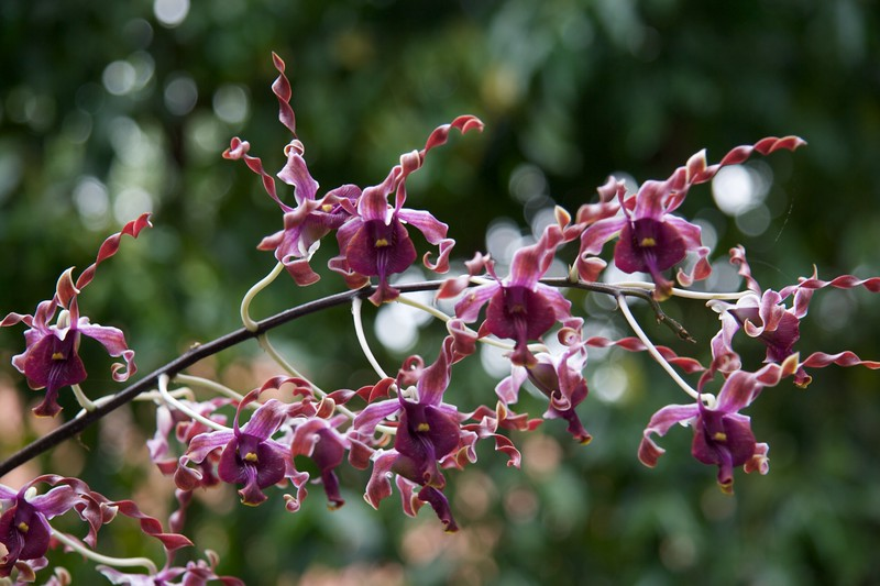 Dendrobium Margaret Thatcher • This orchid was produced in honour of the visit of Margaret Thatcher to Singapore in 1985.