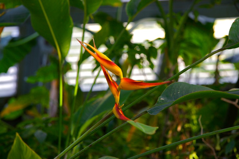 Bird of paradise • At the Botanical Gardens in Taichung.