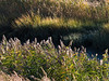 Autumn grasses on the Neponset River.