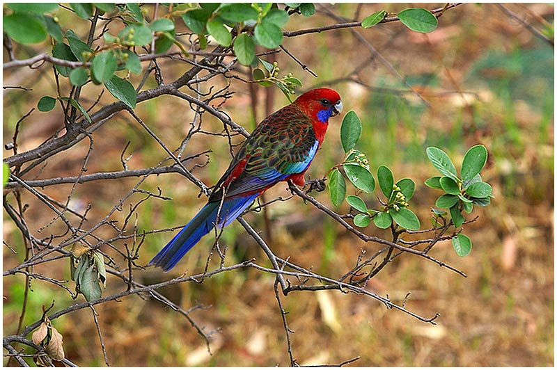 "Sunday February 12th 2006. <br /> <br /> The Crimson Rosella is a common bird in Sydney's suburban gardens. The name Rosella comes from early settlers who regularly saw these parrots near the Sydney suburb of Rose Hill and called the birds ""Rose Hillers"" which finally became Rosellas. <br /> <br /> EXIF DATA <br /> Canon 1D Mk II. EF 70-200mm f/2.8L@200mm 1/125s f/4 ISO 400."