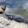 Gators lounging