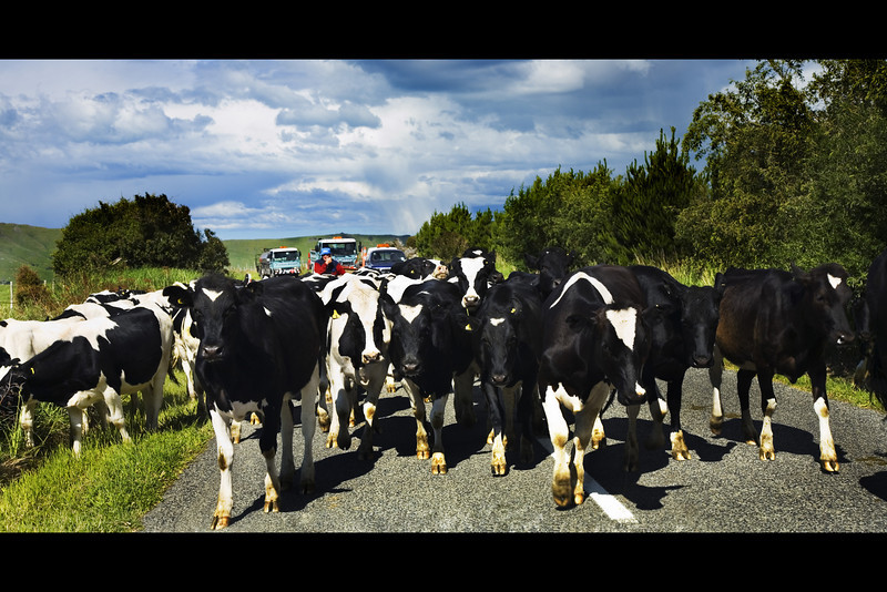 cows new zealand