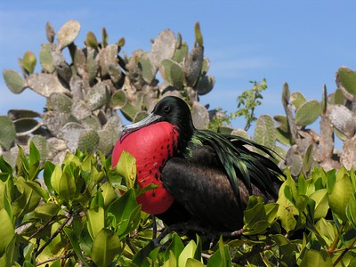 Frigate Bird - Kim Collins