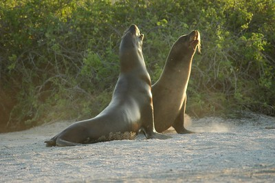 Playful Sealions - Kim Collins