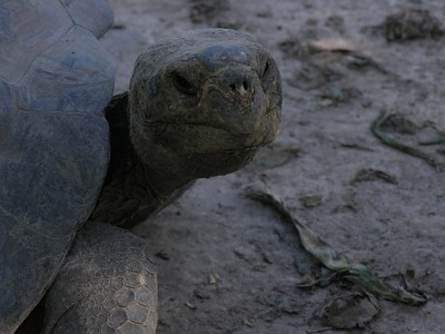 Giant Tortoise - Kim Collins